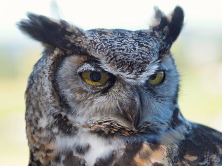 virginianus:  Great Horned Owl, (Bubo virginianus) against blurry background