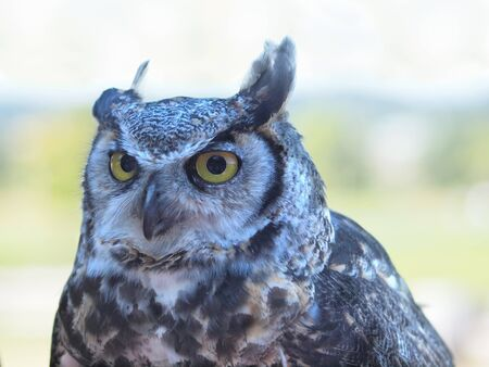 Great Horned Owl, (Bubo virginianus) against blurry background photo