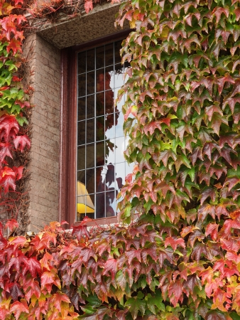 Windows of a caste covered with autumn-colored English Ivy photo