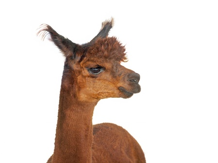 Close up portrait of young  alpaca over white background Imagens