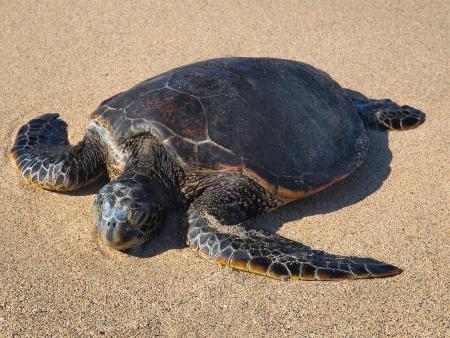 Hawaiian green sea turtle  honu, Chelonia mydas  sunbathing on the beach