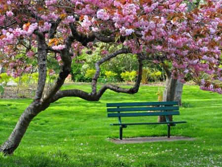 cerezos en flor: Banco en el parque bajo la flor de cerezo