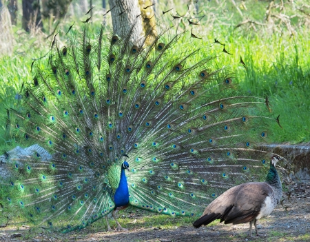 courting: Peacock courting ritual, peahen passing by Stock Photo