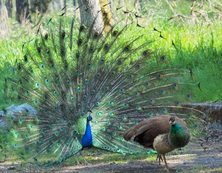 peahen: Peacock courting ritual, peahen walks away Stock Photo