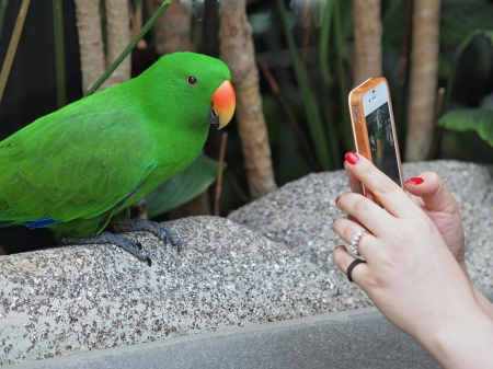 photographing: Female hands holding a smartphone taking portrait of a male Eclectus Parrot
