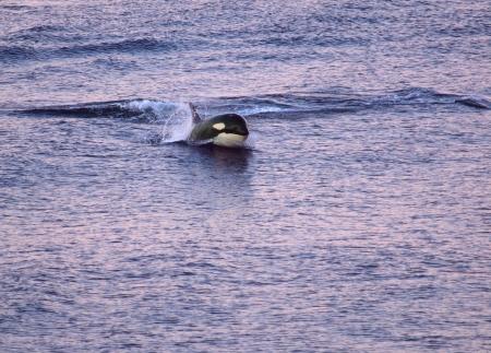 Orca  killer whale  breach