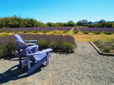 Two Adirondack chairs overlooking lavender field