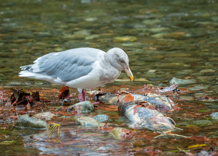 dead fish: Seagull over dead salmon Stock Photo