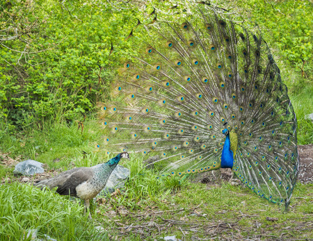 courting: Peacock and peahen courting Stock Photo