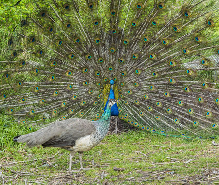 peahen: Peacock and peahen courting Stock Photo