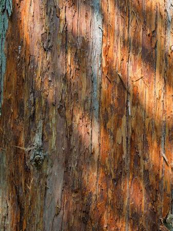 dappled: Dappled light highlights texture of the  tree bark