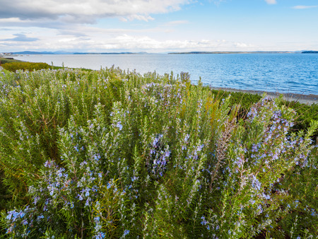 Rosemary plant (Rosmarinus officinalis) blossoming with fragrant blue flowers, growing at the ocean shore
