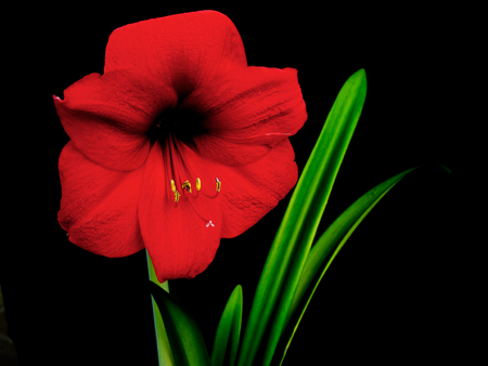 Blooming amaryllis over black background, two flowers open