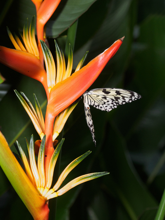 The Paper Kite butterfly on a Bird of Paradise flower