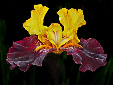 Iris head isolated on black, selective focus