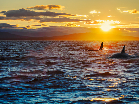 Two killer whales, dorsal fins against setting sun with remote islands in the backdrop