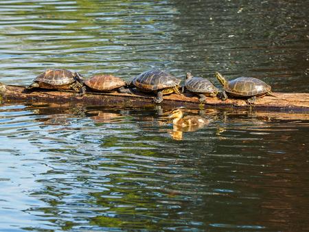 Patito nada junto a un tronco con tortugas bronceadoras