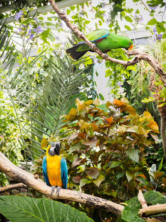 Blue-and-Gold Macaw  (Ara ararauna) and eclectus, perched among lush tropical greenery Stock Photo