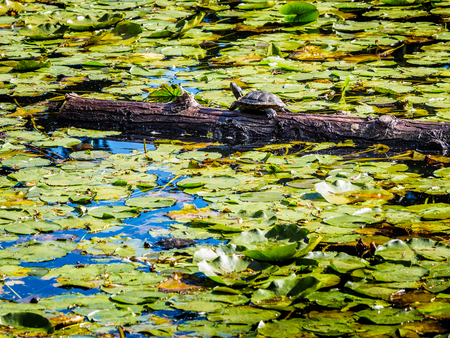 Turtle on the log in the lake in the public Beacon Hill Park, Victoria BC, Canada