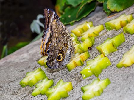 Owl butterfly on freshly cut star fruit
