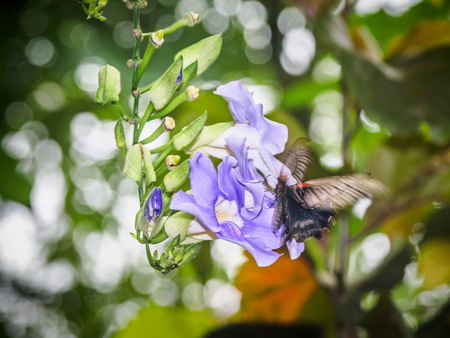 Butterfly feeding on blue Sky Clock Vine (Thunbergia Grandiflora)