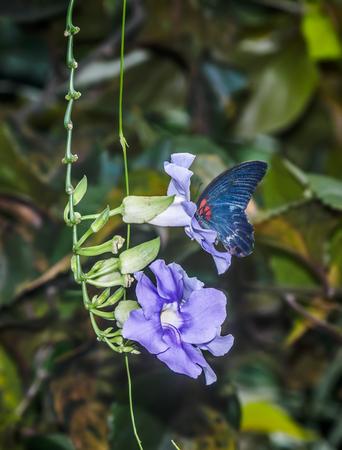 Butterfly feeding on blue Sky Clock Vine (Thunbergia Grandiflora)