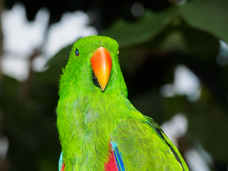 Green male Eclectus Parrot perched against blurry background