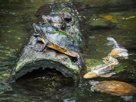 Several pond turtles sitting on a log, water is teeming with koi fish