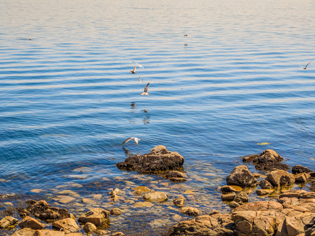 Seagulls at the rocky shore of Sidney BC, Canada