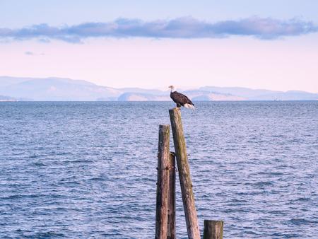 Bald Eagle (Haliaeetus leucocephalus) sitting on piles at the shore. Sidney, BC, Vancouver Island, Canada