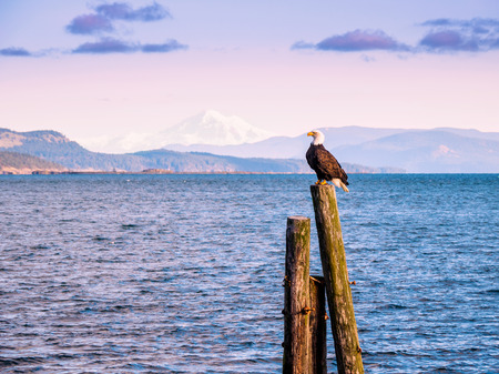 Bald Eagle (Haliaeetus leucocephalus) sitting on piles at the shore. Sidney, BC, Vancouver Island, Canada