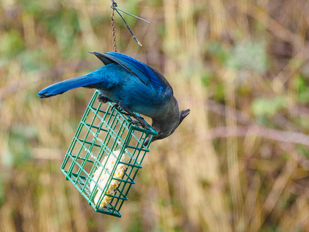 Blue Jay (Cyanocitta Cristata) sitting on a feeder with suet, hang in a backyard to help birds sustain winter time