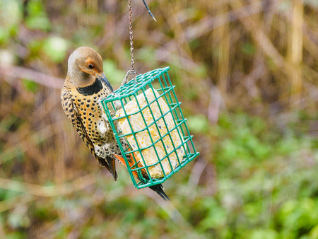 Northern Flicker (Colaptes auratus) on a feeder with suet, hang in the backyard for the winter Banco de Imagens - 95516881