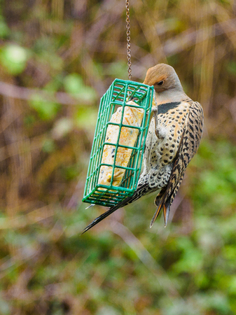 Northern Flicker (Colaptes auratus) on a feeder with suet, hang in the backyard for the winter