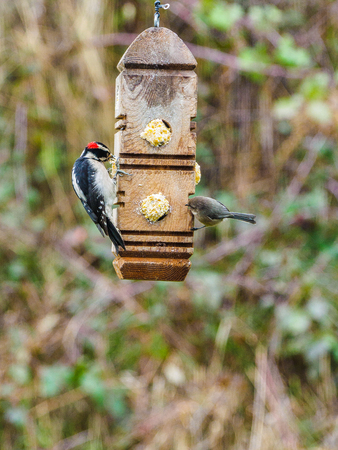 downy woodpecker (Dryobates pubescens) on the feeder with suet, hung in the backyard for the winter