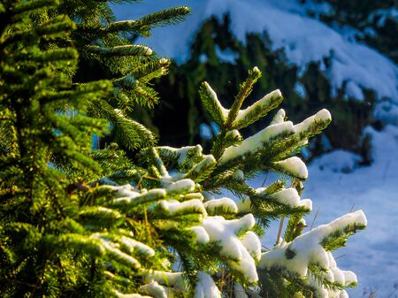 Snow covering coniferous tree branch, sunny winter day