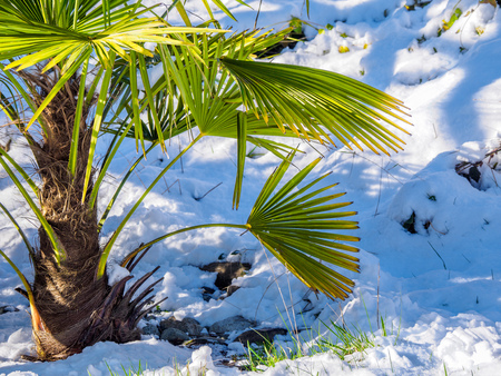 Palm tree on a sunny winter day with unexpected snow