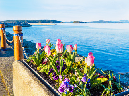 Tulips of varied colors decorate the seaside walk in Sidney, Vancouver Island, British Columbia