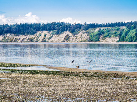 Great Blue Heron is chased away by the dogs playing on Vancouver Island beach
