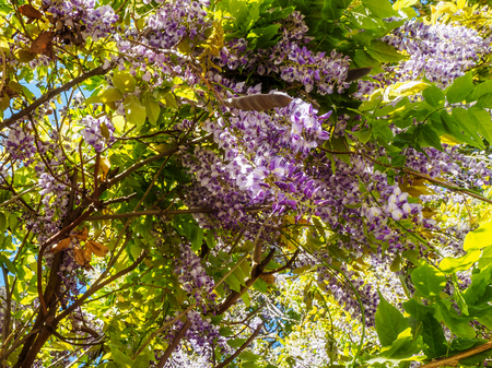 Large purple clusters of wisteria (Wisteria sinensis) blooming in the spring