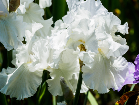 Blooming iris (Iris sibirica) in the garden, with shallow depth of field and blurred background Stock Photo