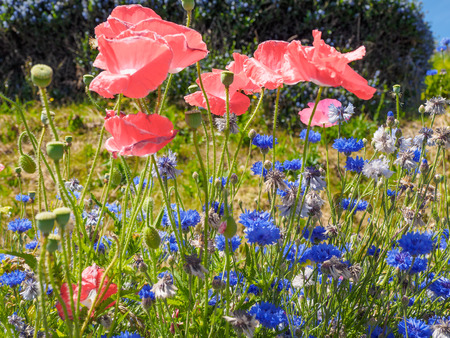 Field of pink poppies and cornflowers blossoming in the summer 版權商用圖片