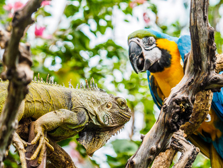 Encounter of iguana and Blue and Gold Macaw on a tree branch in lush jungle greenery Фото со стока