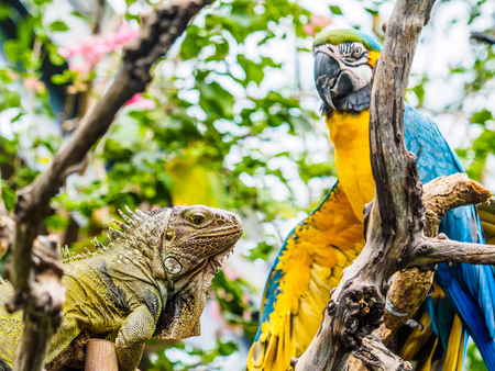 Encounter of iguana and Blue and Gold Macaw on a tree branch in lush jungle greenery 스톡 콘텐츠