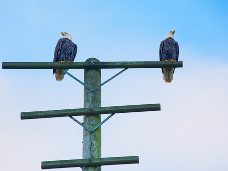 Bald eagles perch at the pole at the fishing pier in Sidney on Vancouver Island, British Columbia, Canada