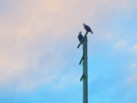 Bald eagles perch at the pole at the fishing pier in Sidney on Vancouver Island, British Columbia, Canada 스톡 콘텐츠