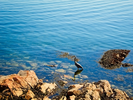 Great Blue Heron wading in the water at the low tide in Sidney on Vancouver Island, British Columbia, Canada