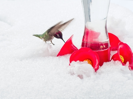 Anna's Hummingbird at the feeder during cold snap with snow Banco de Imagens - 121039357