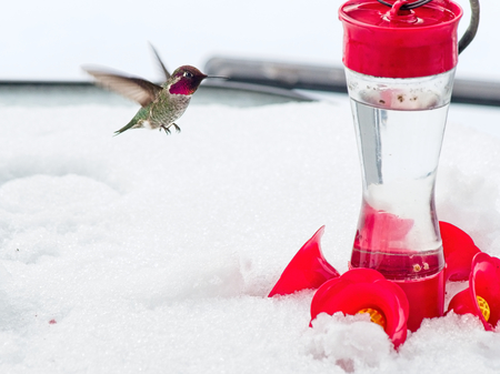 Anna's Hummingbird at the feeder during cold snap with snow Banco de Imagens - 121039358