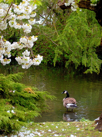 canadian goose under blooming apple tree in the Beacon Hill Park, Victoria, BC, Canada 版權商用圖片